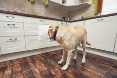 淘气狗在家庭厨房里 免版税库存照片