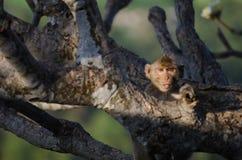淘气猴子 图库摄影