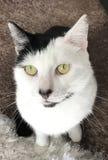 淘气的猫 库存图片