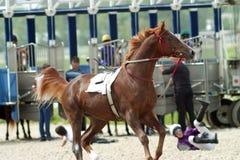 淘气的马 免版税库存照片