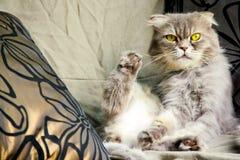 淘气黄色注视凝视角落和演奏她的脚的猫 免版税库存图片