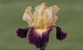 淡桔色和bardo虹膜 免版税库存图片