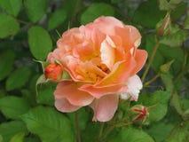 淡桔色的玫瑰 库存图片