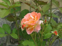 淡桔色的玫瑰 图库摄影