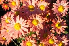 淡桔色的菊花 免版税库存图片