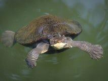 淡水乌龟 库存图片