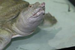淡水乌龟Trionics汉语 免版税库存照片