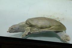 淡水乌龟Trionics汉语 免版税库存图片