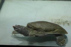 淡水乌龟Trionics汉语 库存照片