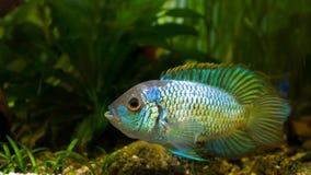 淡水壮观的在产生的着色的丽鱼科鱼Nannacara变态霓虹蓝色男性守卫鸡蛋,侧视图的 图库摄影