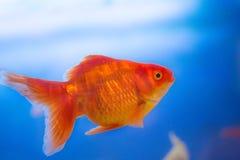 淡水水族馆鱼,从亚洲的金鱼水族馆的,鲫属auratus 免版税库存照片