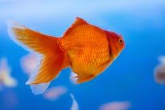淡水水族馆鱼,从亚洲的金鱼水族馆的,鲫属auratus 免版税图库摄影