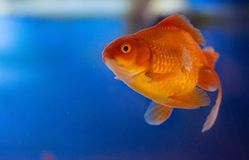 淡水水族馆鱼,从亚洲的金鱼水族馆的,鲫属auratus 库存图片
