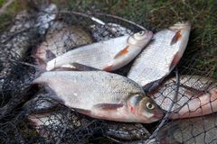淡水白色鲂或银色鲂和古铜色鲂或者鲤鱼鲂在手网 免版税库存图片