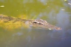 淡水的鳄鱼 库存图片