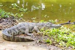 淡水的鳄鱼 库存照片