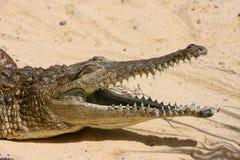 淡水的鳄鱼 免版税库存图片