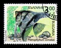淡水神仙鱼Pterophyllum eimekei、植物群和动物区系ser 免版税库存照片