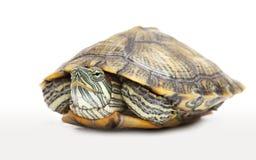 淡水纵向乌龟 免版税库存图片