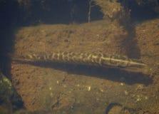 淡水鱼白斑狗鱼以美好的干净的磅 与好的bacground和自然光的水下的射击 狂放的生活生命 免版税图库摄影