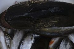 淡水鱼白斑狗鱼以美好的干净的磅 与好的bacground和自然光的水下的射击 狂放的生活生命 免版税库存照片