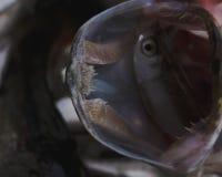 淡水鱼白斑狗鱼以美好的干净的磅 与好的bacground和自然光的水下的射击 狂放的生活生命 免版税库存图片