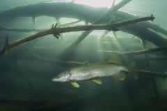 淡水鱼白斑狗鱼Esox lucius水中摄影 免版税库存图片