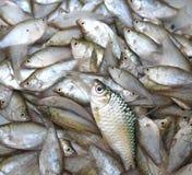 淡水鱼,一点鱼背景 免版税库存图片