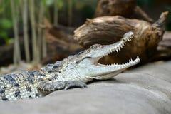 淡水鳄鱼湾鳄mindorensis 免版税库存图片
