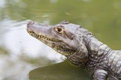 淡水鳄鱼 库存照片