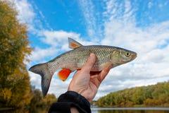 淡水鳔形鱼在钓鱼者反对蓝色秋天天空的` s手上 免版税库存图片