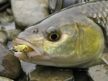 淡水鳔形鱼诱剂渔 库存照片