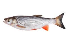 淡水鳔形鱼 免版税库存照片