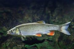 淡水鳔形鱼- Squalius cephalus 免版税库存图片