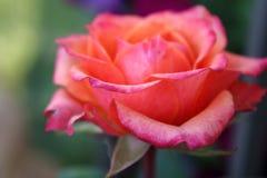 淡粉红上升了 免版税图库摄影