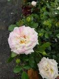 淡粉红和白玫瑰 免版税库存图片