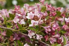 淡粉红的夹竹桃分支开花与绿色叶子 免版税库存图片