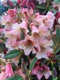 淡粉红的杜鹃花 库存图片