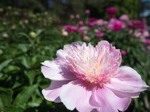 淡粉红的牡丹花在庭院里 免版税库存照片