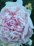 淡粉红的牡丹 免版税库存图片