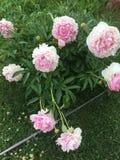 淡粉红的牡丹 图库摄影