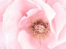 淡粉红的玫瑰细节,雄芯花蕊 免版税库存图片