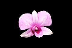 淡粉红的石斛兰属兰花花 免版税库存照片