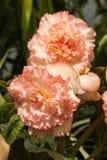 淡粉红的秋海棠花 免版税图库摄影