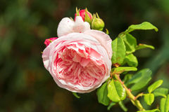 淡粉红的英语开花在加尔省的罗斯选择聚焦  库存照片