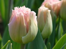 淡粉红的郁金香 图库摄影