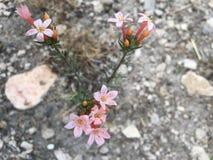 淡粉红的野花 库存图片