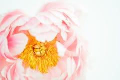 淡粉红脸红牡丹花特写镜头 库存图片