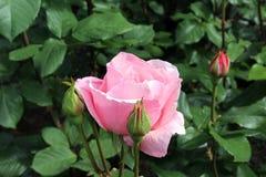 淡粉红色 库存图片