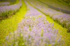 淡紫色丛生在日落的特写镜头 免版税图库摄影